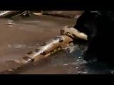 Пантера дерется с анакондой